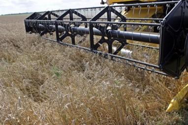 Le blé récolté actuellement est de mauvaise qualité.