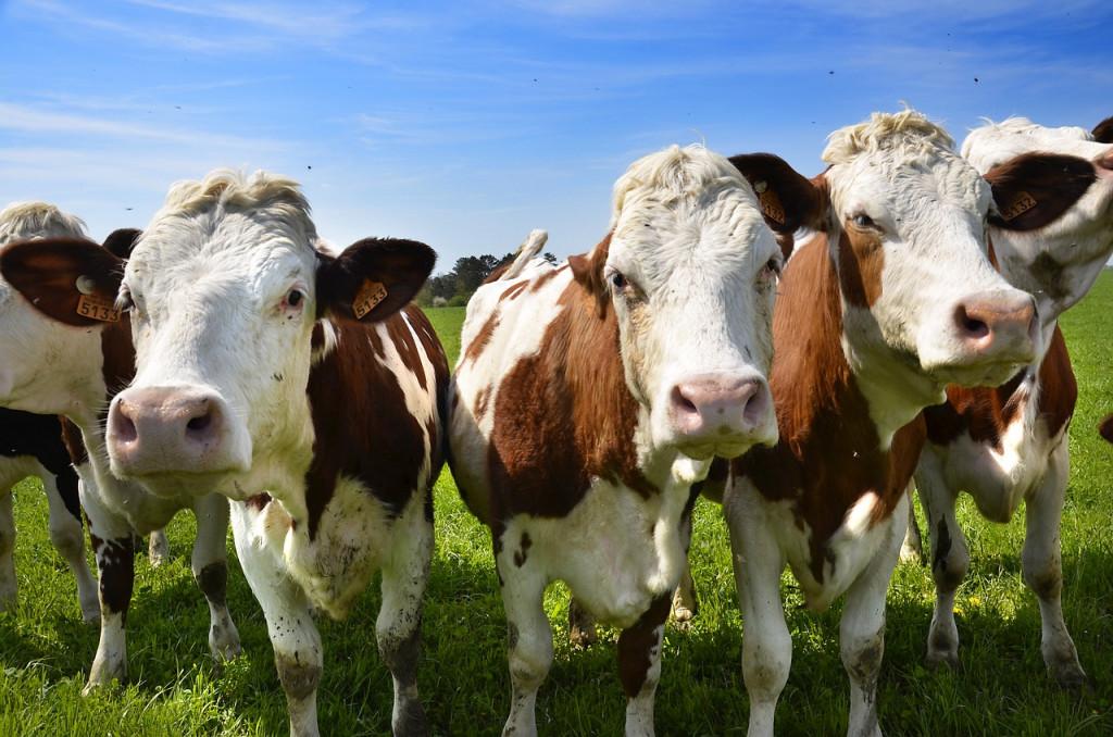 cows-3832362_1280