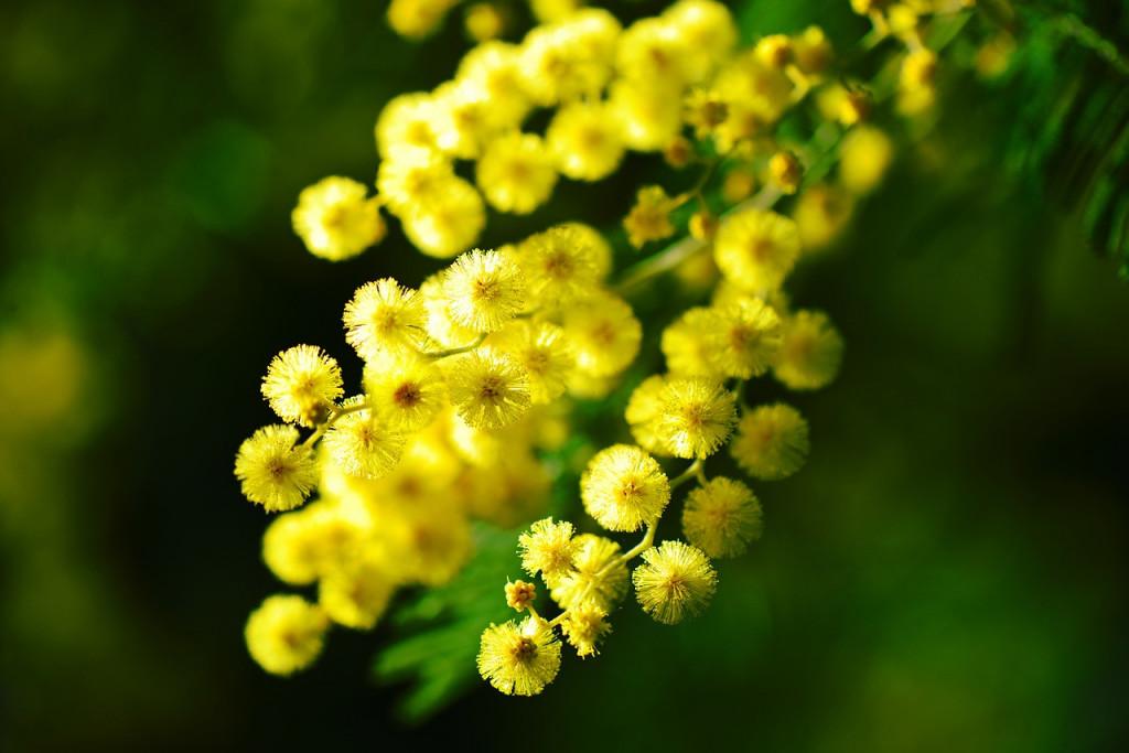 mimosa-274206_1280