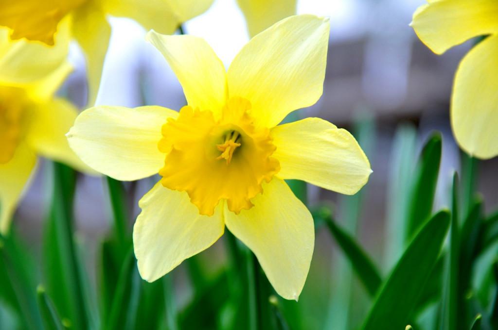 daffodil-696449_1280