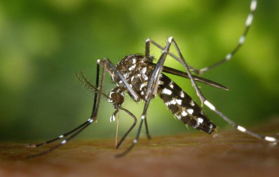 tiger-mosquito-49141_1920-800x530