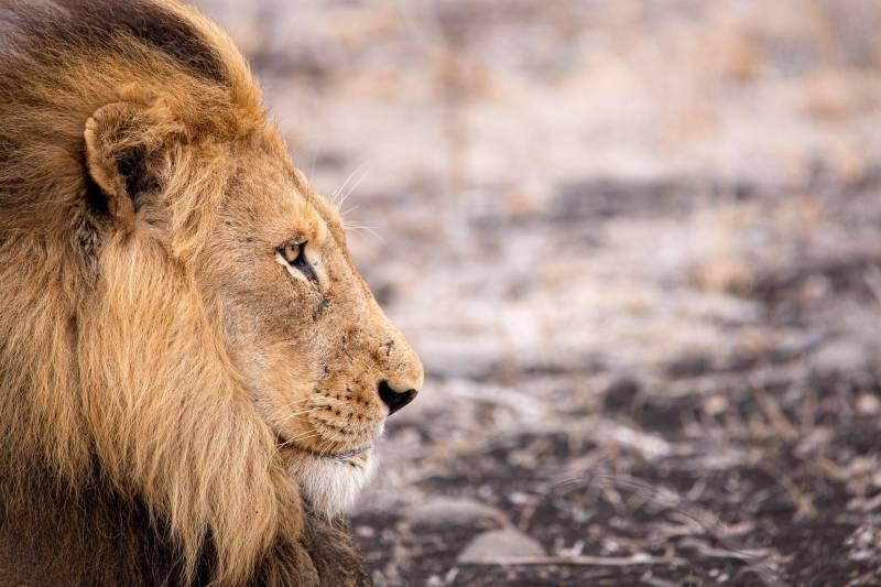 lion-4683920_1920-800x533