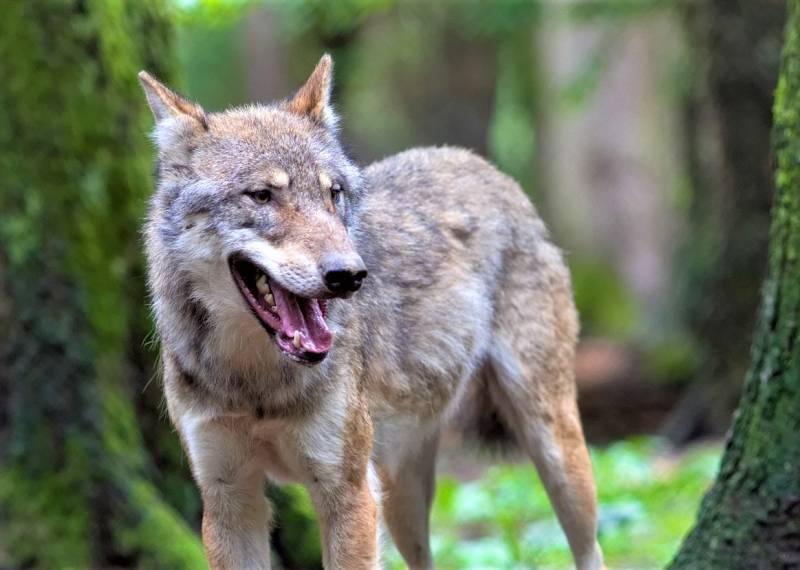 wolf-1458802_1280