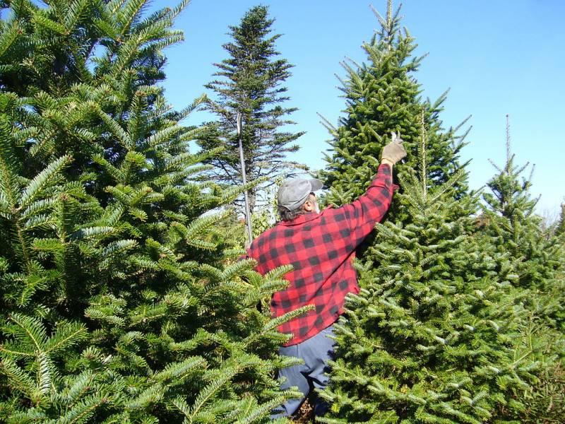 Balsam_Fir_Christmas_Tree_Pruning