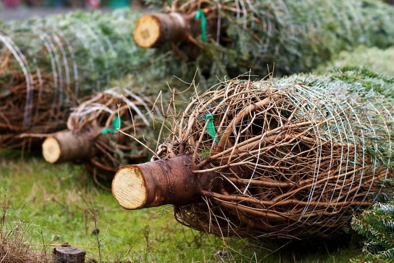 christmas-trees-235367_1280