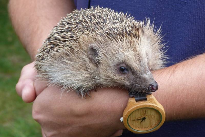 hedgehog-5018758_960_720