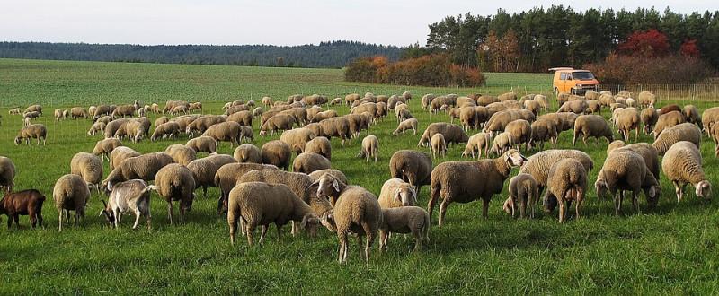 mouton-800x330