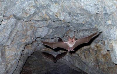 leaf-nosed-bats-1575051_1280