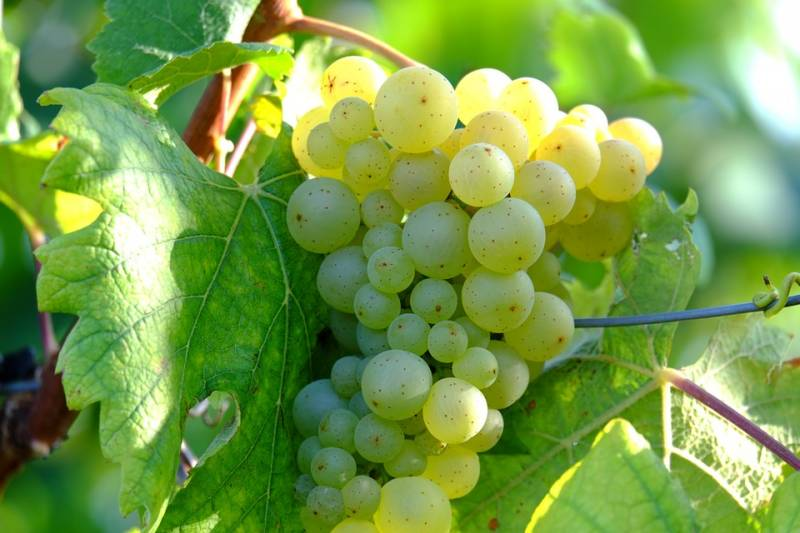 grapes-908990_960_720